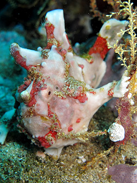 Indonesia - Frog Fish